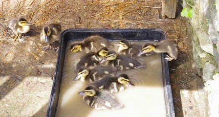 ten rescued  ducklings