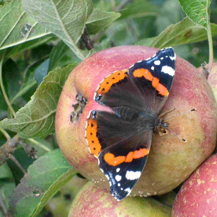 Red Admiral in the orchard